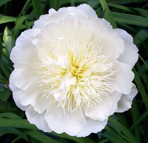 619px-Paeonia_lactiflora_Barrington_Bride