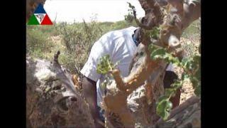 Berba tamjana u Somaliji
